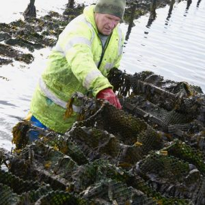 Dave farming oysters